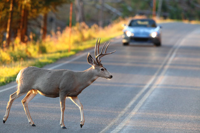 Deer - car collisions occur most frequently among all wildlife incidents.
